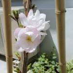 その数日後、4月15日!なんと桜が咲きました!